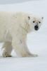 polar bear in fog