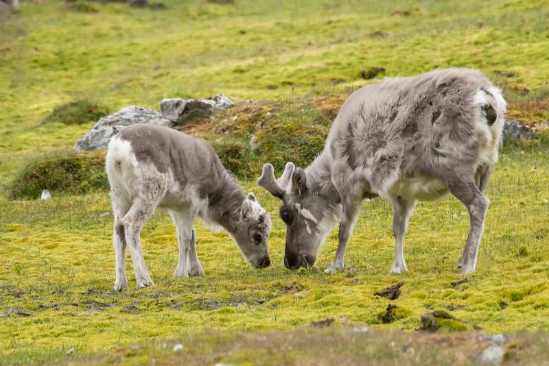 Reindeer mom & baby, Varsolbukta (Bellsund)