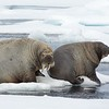 A mother and calf Walrus near the Seven Islands