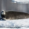 Bearded Seals are aptly named