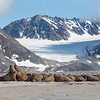 A Walrus haul-out set against the spectacular scenery of Magdalenenfjord