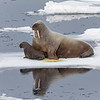 A female Walrus with her tiny calf on an ice floe