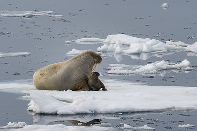 Mother and calf on sea ice