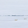 A female Polar Bear calling for her two yearlings after an unsuccesful hunt