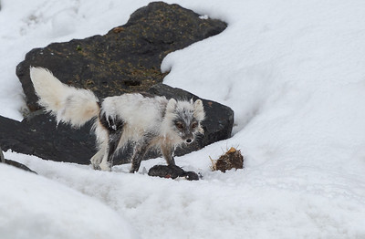 Arctic fox and guillemot