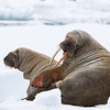 A female Walrus and her calf of around three years old