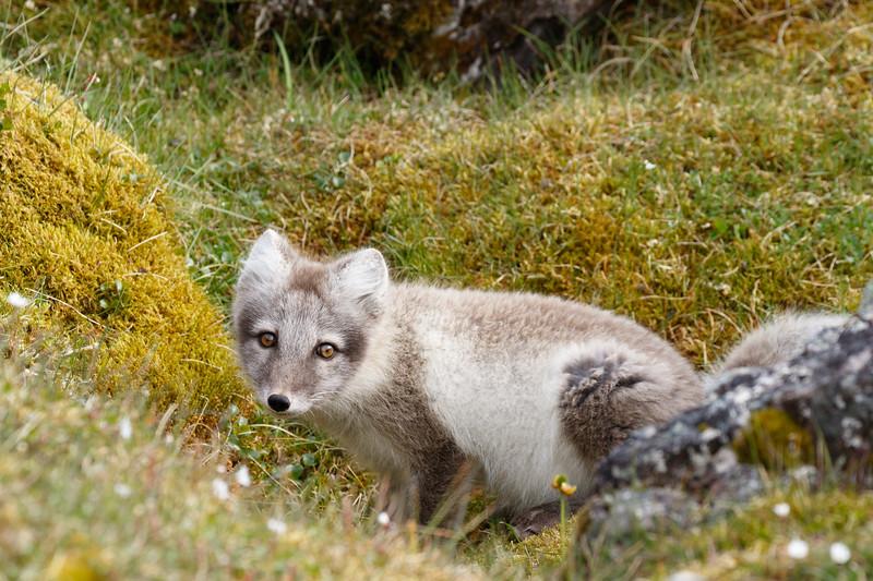 The Arctic Fox kits at Alkhornet three weeks later