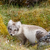 The Arctic Fox kits at Alkhornet three weeks later