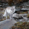 There were three curious Arctic Fox kits scampering around at Alkhornet