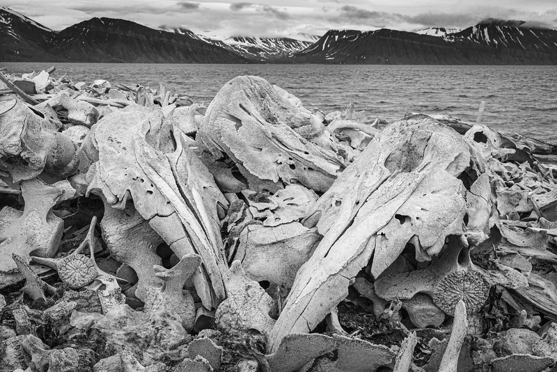 The remains of hundreds of Beluga Whales at Kapp Toscana, witness to the terrible slaughter which continued into the 20th century