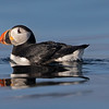 Puffin in Svalbard