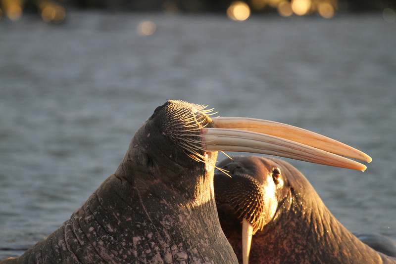 Male Walruses on Lagoya