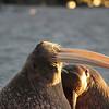 Male Walruses on Lagoya