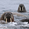 Hundreds of female Walrus with their calves on Storoya
