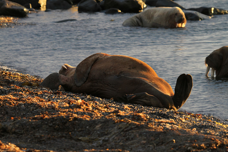Walrus rolling down the beach on Lagoya