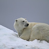 Polar bear on Karl XII-oya, sleeping on some grounded ice