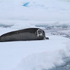 Bearded seal on pack ice