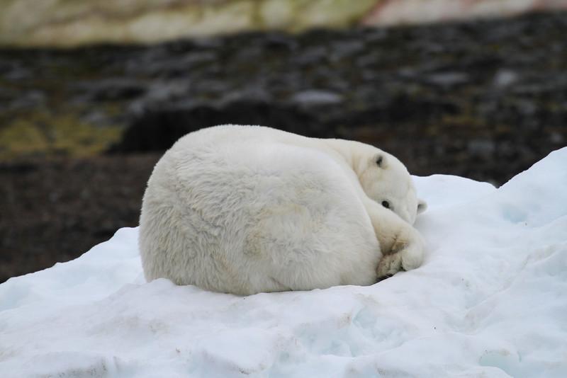 Polar bear on Karl XII-oya, sleeping on some grounded ice