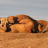 Male Walrus in the midnight sun on Lagoya