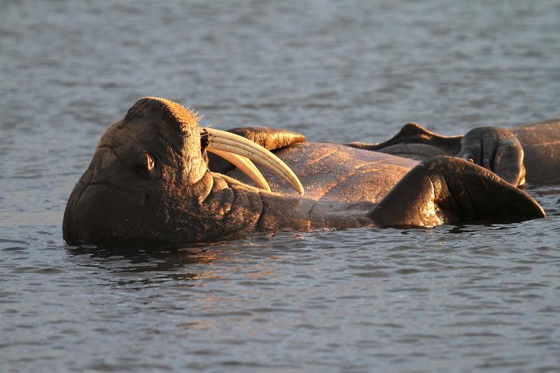 Male Walrus Lying comfortably in the water on Lagoya