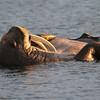 Male Walrus Lying comfortably in the water on Lagoya