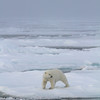 bFemale polar Bear on pack ice north of the Seven Islands