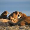 Bachelor herd of Walrus on Lagoya