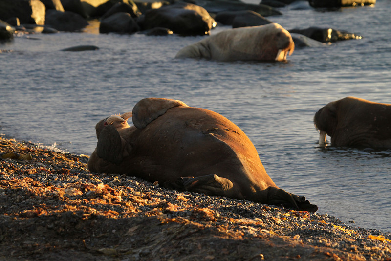 Walrus rolling down the beach on Lagoya