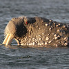 Old male Walrus on Lagoya with many bosses - skin nodules - around his head and neck