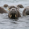 Hundreds of female Walrus with their calves on Storoya