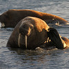 Male Walrus on Lagoya