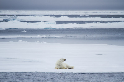 Polar Bear Lying