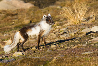 moulting arctic fox