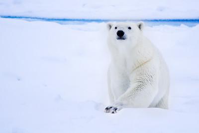 polar bear climbing