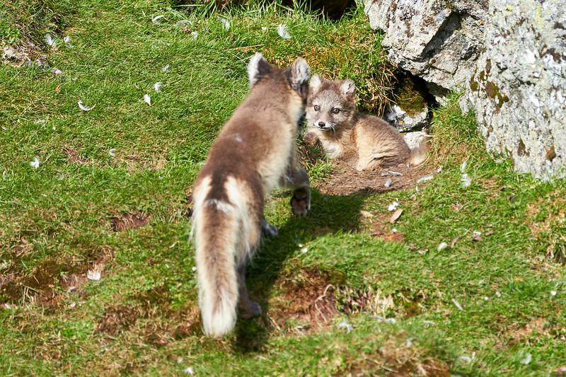 Arctic_Fox_Mother_Kits_Svalbard_2018_Norway_0014