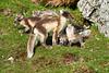Arctic_Fox_Mother_Kits_Svalbard_2018_Norway_0026