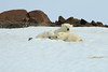 Polar_BearMother_Cubs_Svalbard_2018_Norway_0013