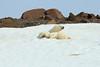 Polar_BearMother_Cubs_Svalbard_2018_Norway_0004