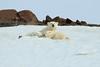 Polar_BearMother_Cubs_Svalbard_2018_Norway_0012
