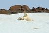 Polar_BearMother_Cubs_Svalbard_2018_Norway_0003