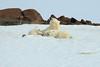 Polar_BearMother_Cubs_Svalbard_2018_Norway_0014