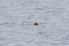 Polar_Bear_Male_Female_Swimming_Svalbard_2018_Norway_0002