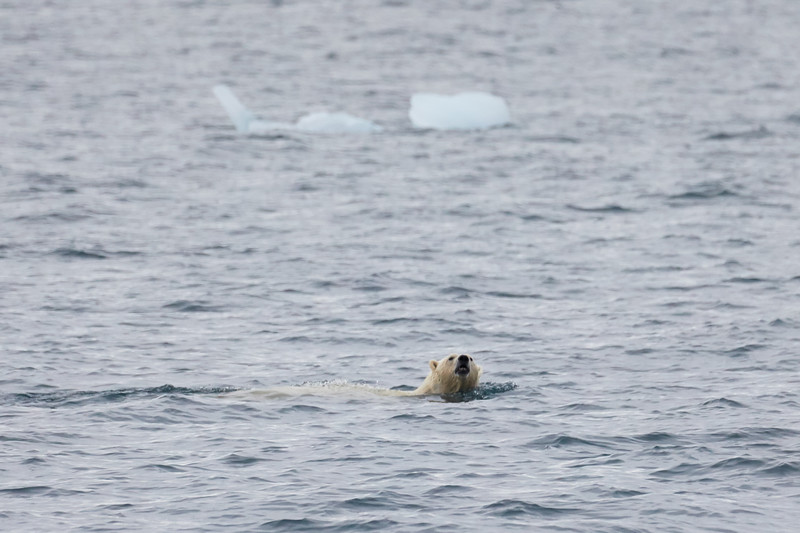 Polar_Bear_Male_Female_Swimming_Svalbard_2018_Norway_0001