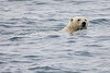 Polar_Bear_Male_Female_Swimming_Svalbard_2018_Norway_0020
