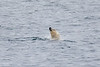 Polar_Bear_Male_Female_Swimming_Svalbard_2018_Norway_0004