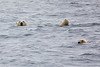 Polar_Bear_Male_Female_Swimming_Svalbard_2018_Norway_0014