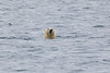 Polar_Bear_Male_Female_Swimming_Svalbard_2018_Norway_0005