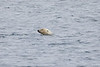 Polar_Bear_Male_Female_Swimming_Svalbard_2018_Norway_0003