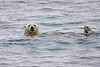 Polar_Bear_Male_Female_Swimming_Svalbard_2018_Norway_0019