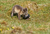 Arctic_Fox_With_Food_Svalbard_2018_Norway_0014